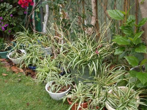 multiplying-spider-plants-2