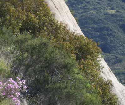 Phlox, Artemisia, Laurel sumac-RedRock