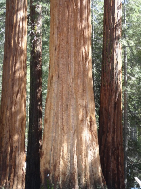 Sequoias on the equator, mprenfrew