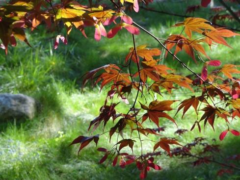 Maple flowers, Descanso Gardens, 4-15-12, mprenfrew