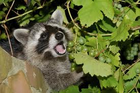 raccoon eating grapes