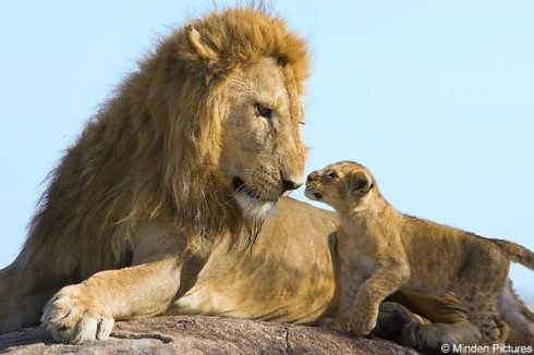 Minden pictures Male lion, cub