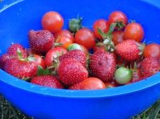 Tomatoes, strawberries 2012
