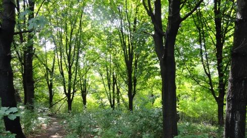 Deciduous spring green in July after rains, Bethel, St. Paul-Arden Hills, MN 7-18-12, mprenfrew