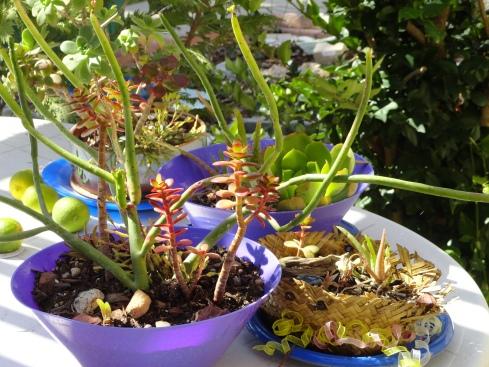 Desert bowl gardens, MP Renfrew, 10-11-12