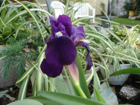 Iris blooms 12-16-12, MP Renfrew -1