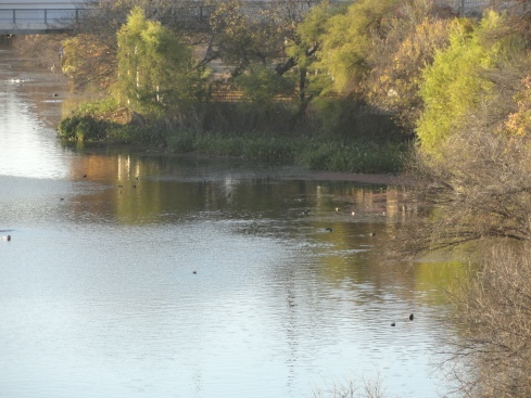 'Town Lake' from 'Colorado River,' Austin TX spring growth on trees 1, Jan. 2013