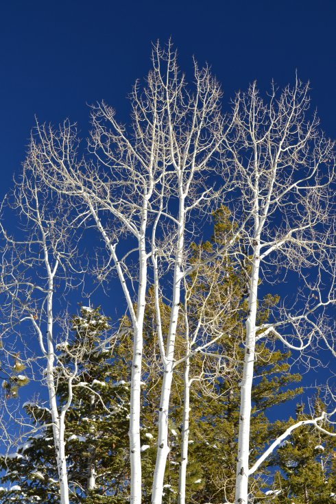 Aspens celebrating, Utah 1-31-13 Renfrew