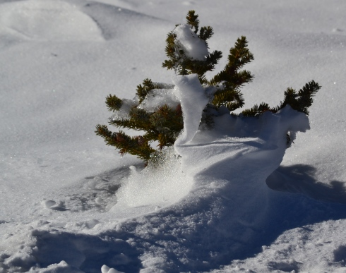 Baby pine in snow, Bryce 1-31-13 Renfrew