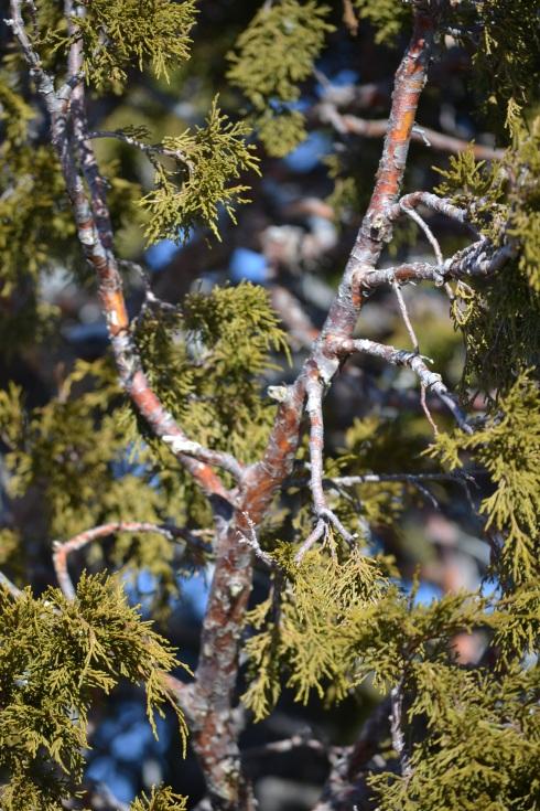 Cedar bark, Bryce 1-31-13