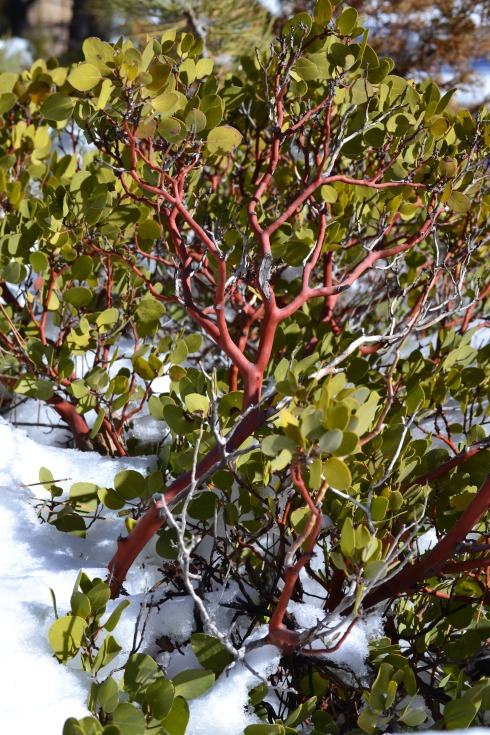 Manzanita in snow, Bryce 1-31-13 Renfrew