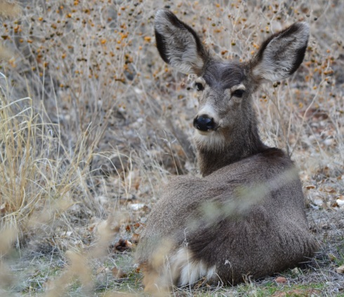 Young mule deer, Zion 2-2-13 Dr MP Renfrew