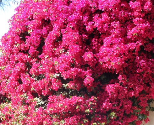 Magenta bougainvillea April 2013