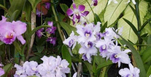 Oahu tropical garden, purple orchids M Renfrew photo