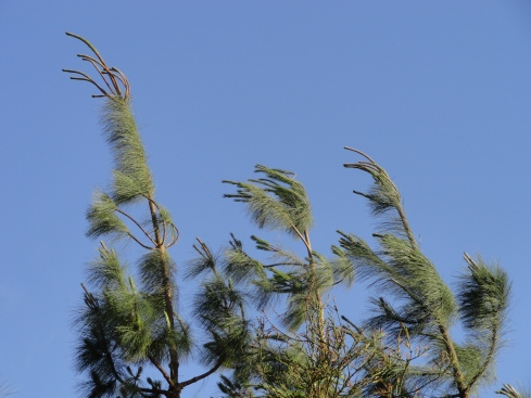Pines in wind April 2013
