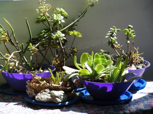 Succulent dish gardens, mprenfrew, 4-2-13