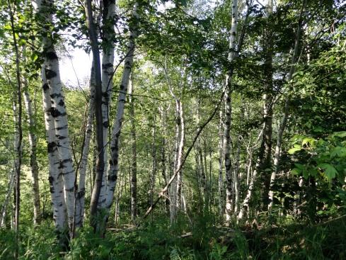 white birch forest, MP Renfrew July 2013