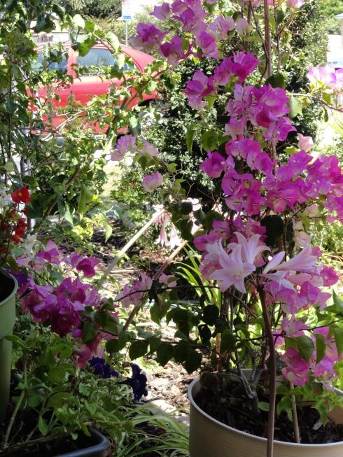Pink bougainvillea & lilies, MP Renfrew, 8-9-13