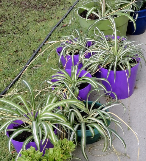 Spider plants in purple wastebaskets with drainage holes, MP Renfrew, 8-18-13