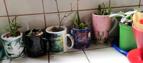 Succulents in mugs, MP Renfrew, 8-18-13