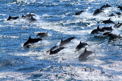 dolphin pod playing Southern California