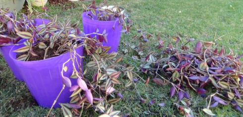 Multiplying wandering Jew plants, a lot of stems broke off