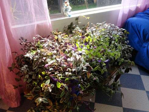 5 multiplied wandering Jew plants, 3-8-14, MP Renfrew