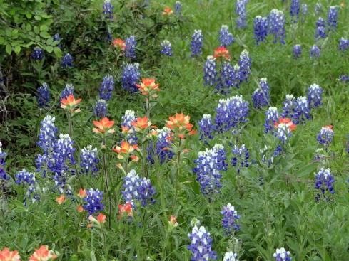Bluebonnets, Indian paintbrush, Mp Renfrew 4-13-15 Texas