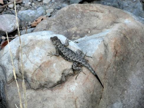 Alligator lizard 7-26-14