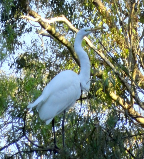 Great egret MP Renfrew