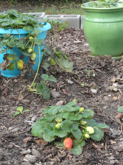 12-15-14 Strawberries after rain 2, MP Renfrew