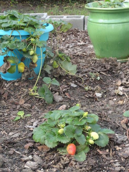 12-15-14 Strawberries after rain 2, MP Renfrew