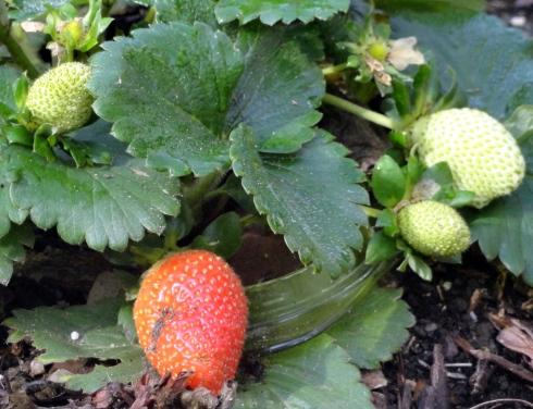 12-15-14 Strawberries after rain, MP Renfrew