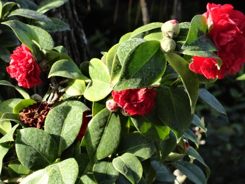 camellia responses to rain 1, 12-15-14, MP Renfrew