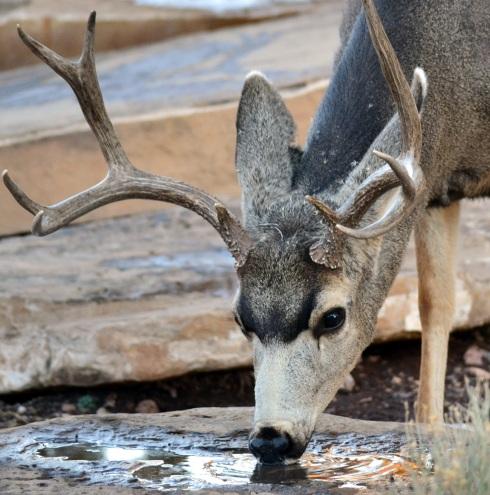Buck melted snow, GC 1-9-15 MP Renfrew