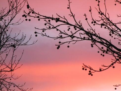 Maple seed balls sunset 1-18-15 MP Renfrew