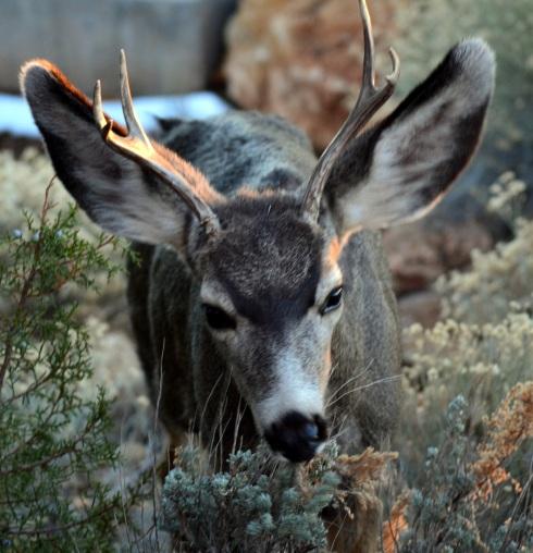 Young deer, GC 1-9-15 MP Renfrew