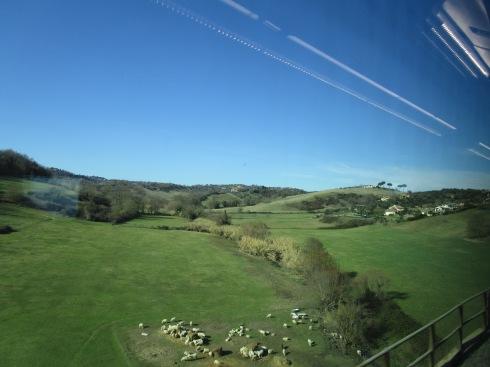 Tuscan sheep, blue sky, 1-23-15 MP Renfrew