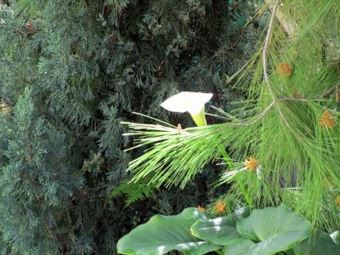 Lily, cedar, pine,Mel's backyard 3-2-15