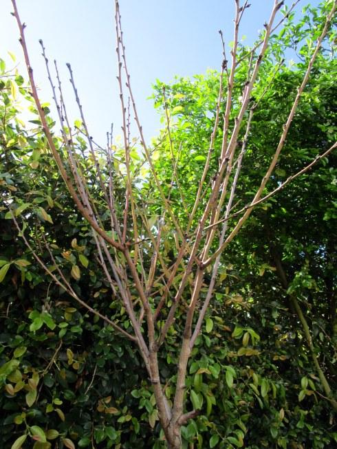 Peach buds, 3-1-15 MP Renfrew