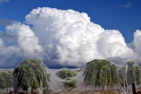 Cumulonimbus over netted orange trees, 4-7-15 MMP Renfrew