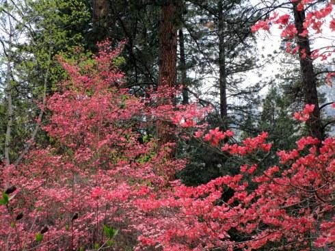 Flowering trees  Yosemite MMPRenfrew, 4-6-15