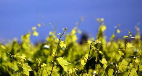 Grape vines near Reedley, 4-7-15 MMP Renfrew