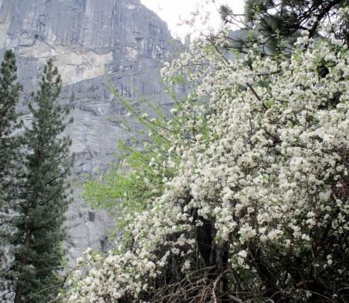 Pacific dogwood Yosemite MMPRenfrew, 4-6-15