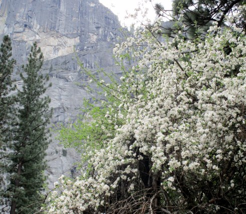Pacific dogwood Yosemite MMPRenfrew, 4-6-15
