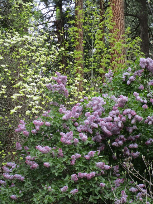 Lilacs Yosemite MMPRenfrew, 4-6-15