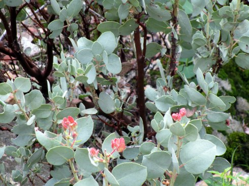 Manzanita blossoms Yosemite MMPRenfrew, 4-6-15