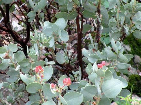 Manzanita blossoms Yosemite MMPRenfrew, 4-6-15