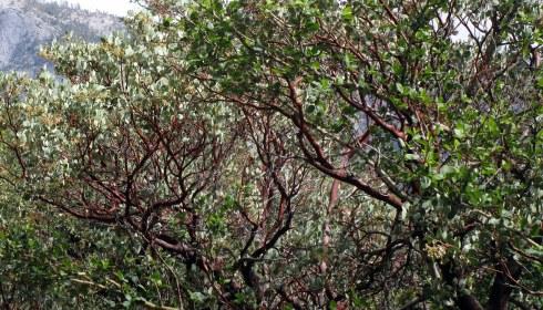 Manzanita Yosemite MMPRenfrew, 4-6-15