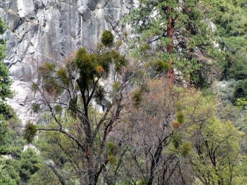 Mistletoe Yosemite MMPRenfrew, 4-6-15